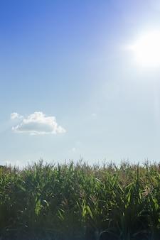 Maisfeld mit blauem himmel