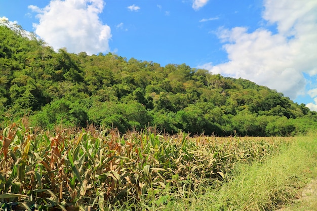 Maisfeld mit großem berg und großem grünem baumhintergrund