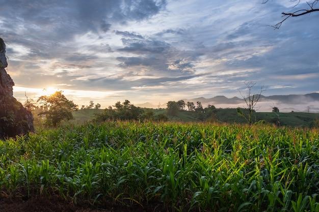 Maisfelder mit bergblick und morgensonne