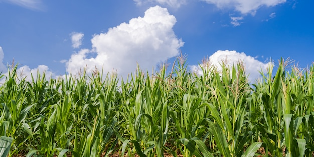 Maisfelder unter dem blauen himmel
