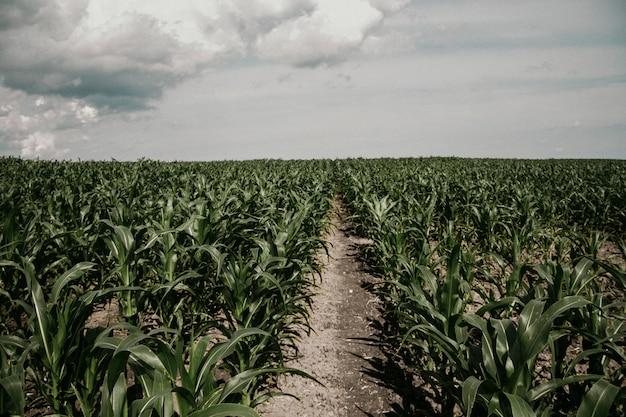 Maisfeldnahaufnahme, der weg entlang dem feld teilt es in zwei teile.
