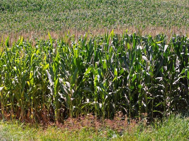 Maisfeldplantage in brasilien