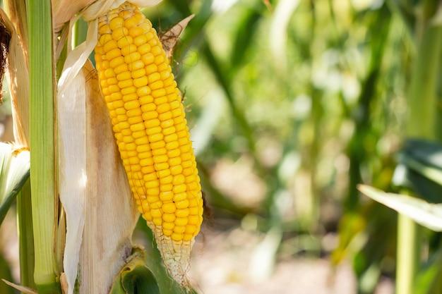 Maiskolben auf dem feld, maisernte sammeln.
