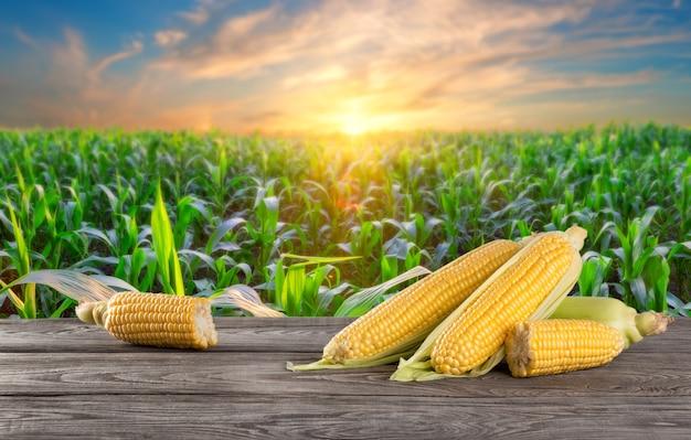 Maiskolben auf holztisch vor dem hintergrund des maisfeldes bei sonnenuntergang