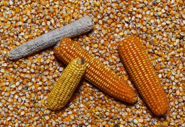 Maiskolben und mais auf vielen getrockneten maissamen
