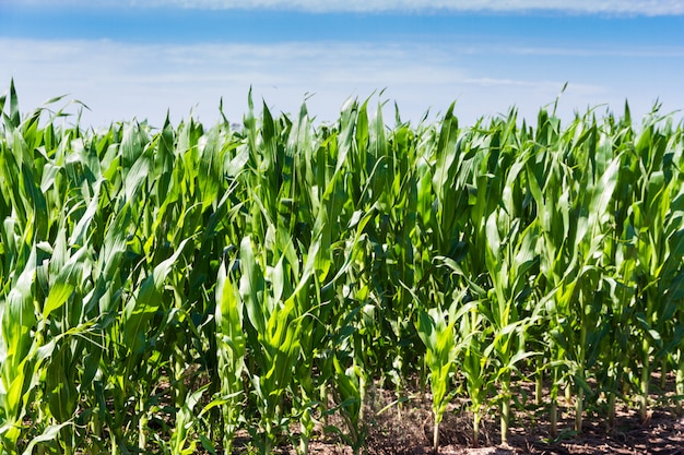 Maisplantage im sommer in der argentinischen landschaft
