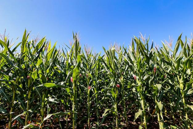Maisplantage mit blauem himmel