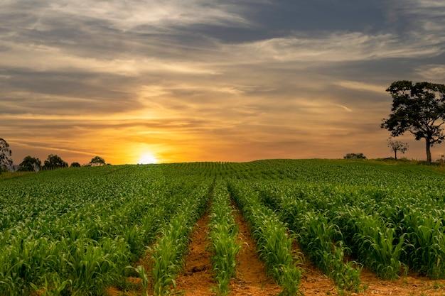 Maisplantage mit wunderschönem sonnenuntergang