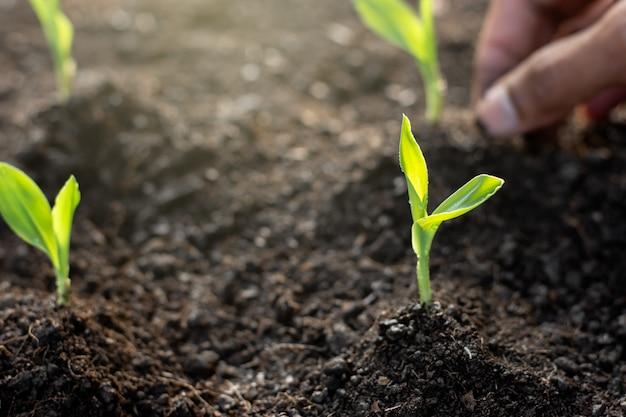 Maissämlinge wachsen.