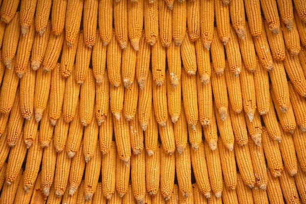 Maistextur für hintergrundtapete. hintergrund aus mais. orangenmais von höchster qualität mit großer maisform