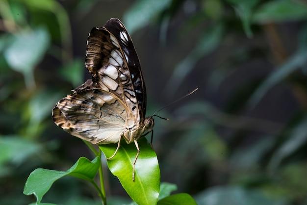 Majestätischer brauner schmetterling im natürlichen lebensraum