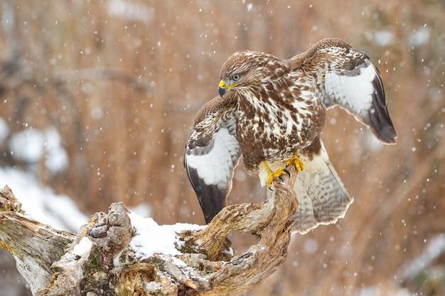 Majestätischer gemeiner bussard, der auf zweig mit offenen flügeln in der schneebedeckten atmosphäre sitzt
