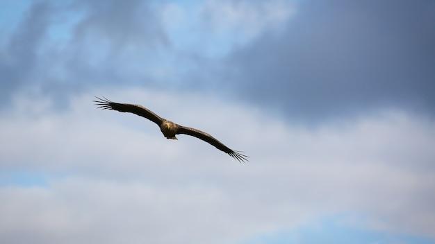Majestätischer seeadler, der mit weit in wolken hoch ausgebreiteten flügeln fliegt