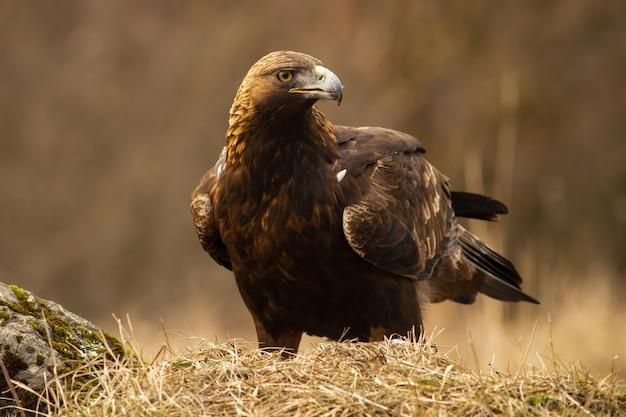 Majestätischer steinadler mit großem schnabel, der auf dem trockenen grasland sitzt