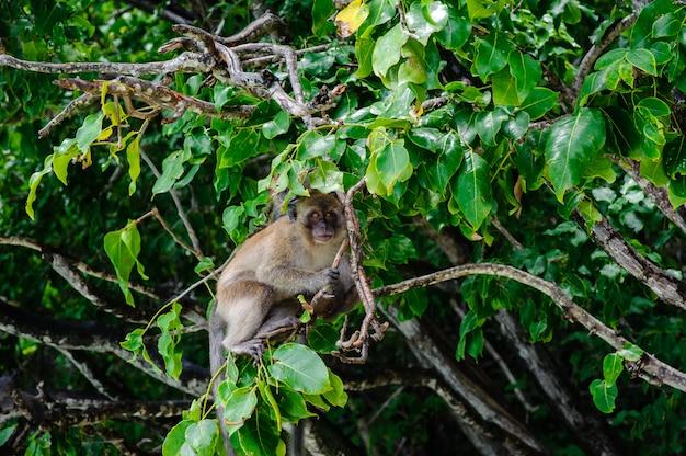 Makaken, der auf einem mangrovenbaum sitzt. macaca fascicularis