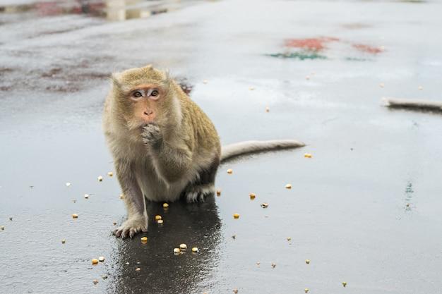 Makakenaffe, der an maissamen in kambodscha knabbert