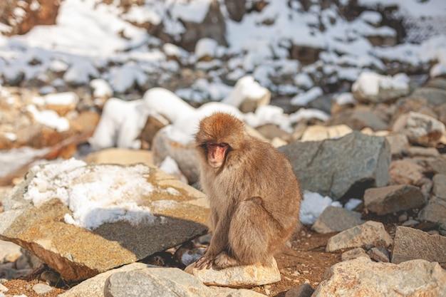 Makakenaffe, der auf einem felsen steht, während unten schaut