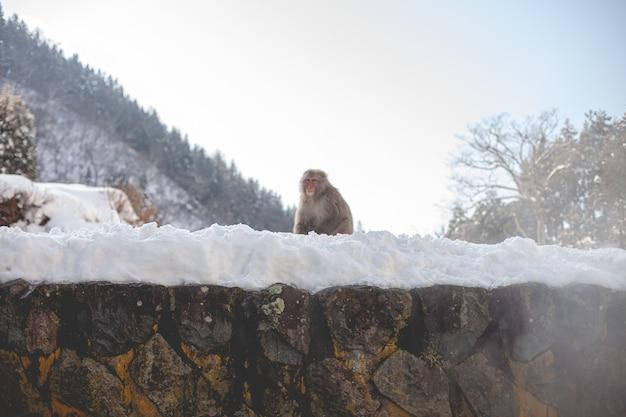 Makakenaffe, der auf einem schneebedeckten hügel steht