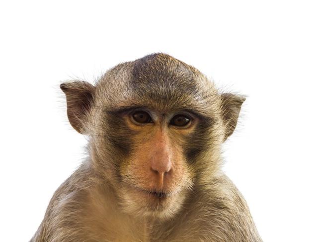 Makakenaffe lokalisiert auf weiß