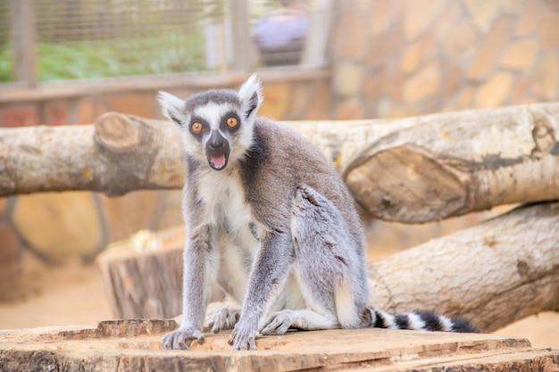 Maki im zoo. ein tier in gefangenschaft. gestreifter schwanz.