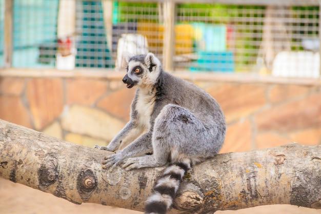 Maki im zoo