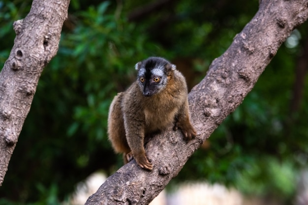 Maki-mungo, eulemur mongoz lemuridae, ruht auf einer niederlassung in einem dschungel.