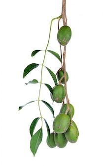 Makok (schweinepflaumen oder spanische pflaumen) oder olivenfrucht in thailand