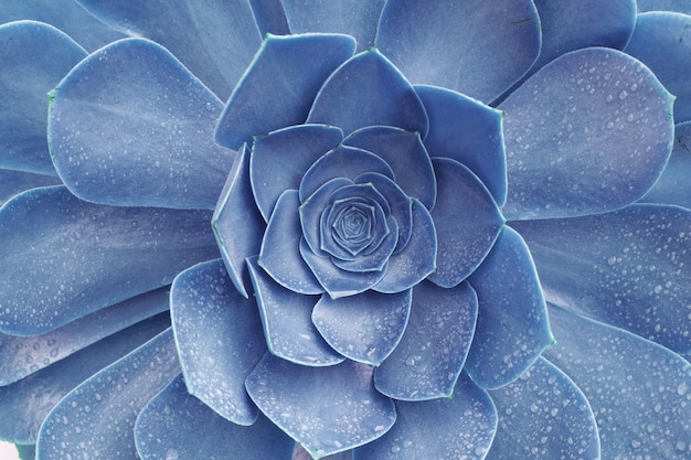 Makro abstraktes bild der blauen saftigen echeveria-pflanze mit regentröpfchen - texturhintergrund, tropischer blatthintergrund und schönes detail