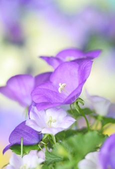 Makro der glockenblumen