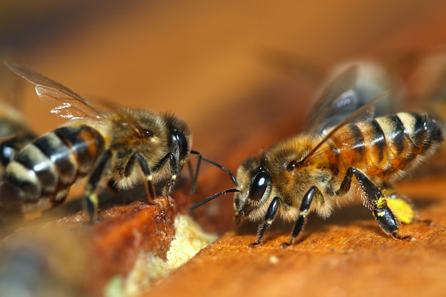 Makro der honigbiene