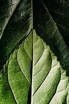 Makro der unterseite oder des axialen gesichtes und des strahls der maulbeerblätter