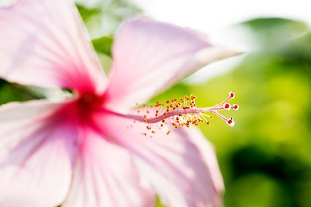 Makro der wirklichen natur hibicus blume botanisch
