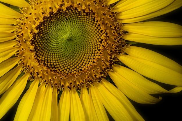 Makro des gelben sonnenblumenblühens