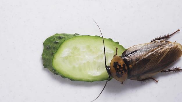 Makro einer großen braunen schabe, die gurke isst