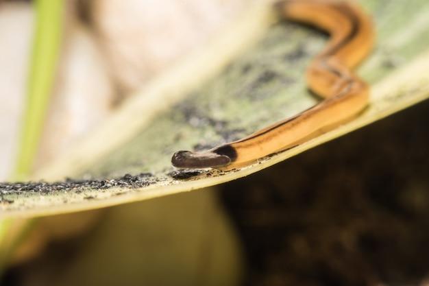 Makro eines hammerhead-wurmes (platyhelminthes), plattwurm auf einem blatt.