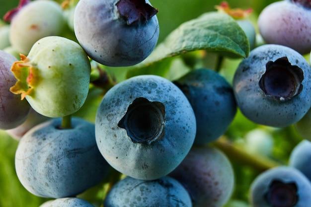 Makro-heidelbeerbusch bei sonnenuntergang, bio-reif mit saftigen beeren, nur bereit zu pflücken, blaubeeren-pflanze, die in einem gartenfeld wächst, . blaue beere, die an einem ast hängt, bio, gesundes bio-lebensmittel