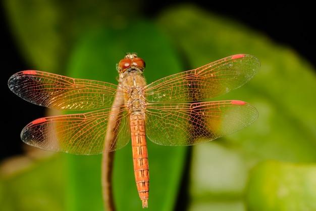 Makro libelle
