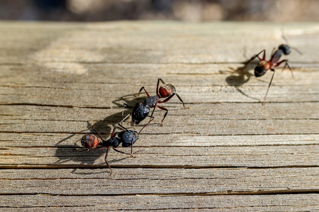 Makro mehrerer ameisenköniginnen, die nach einem partner suchen, um ein nest zu bauen.