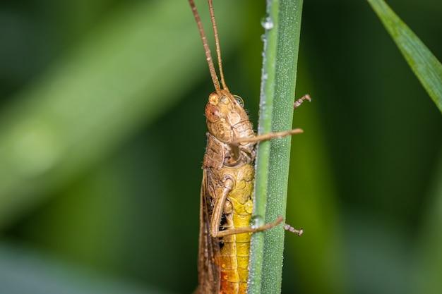Makro mit gebogenen heuschrecken (chorthippus biguttulus) am morgen im feuchten gras