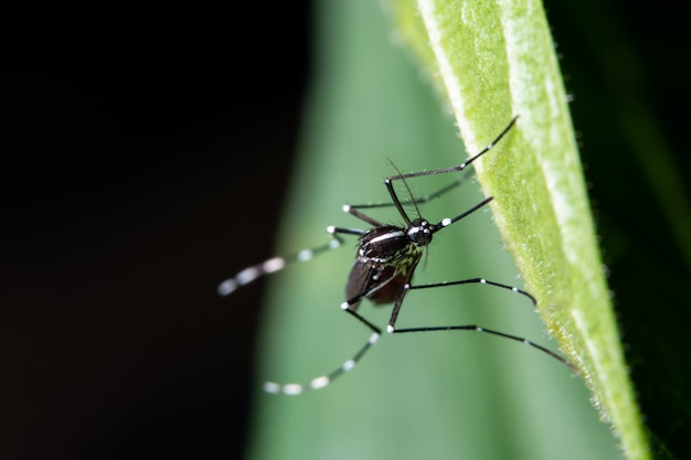 Makro, moskito auf den blättern