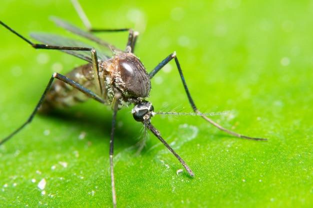 Makro-moskito in der natur