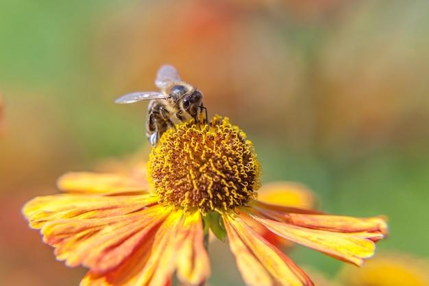 Makro nah herauf die honigbiene bedeckt mit gelbem blütenstaubgetränkenektar, orange blume bestäubend
