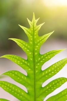 Makro nahaufnahme grünen farn blatt tropischen regenwald pflanze hintergrund.