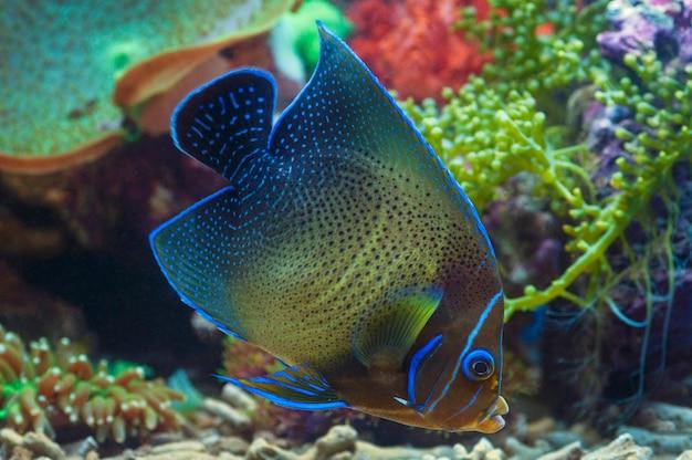 Makro nahaufnahme von angel blue stone meeresfisch, pomacanthus annularis