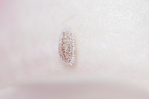 Makro pseudococcidae auf blättern
