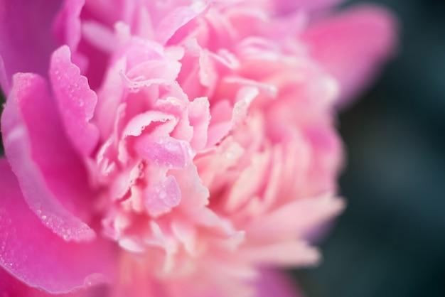 Makro rosa pfingstrosenblumenblätter mit wasser fällt auf grün