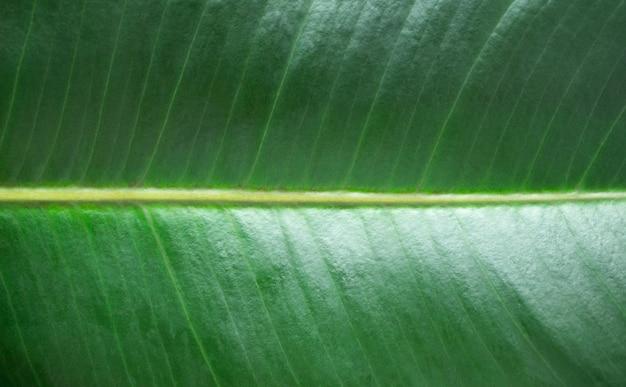 Makro tropische grüne blatt textur. detail laub mit ader hintergrund nahaufnahme. sommertapete. abstrakter naturhintergrund mit selektivem fokus