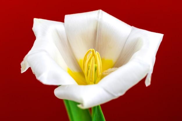 Makro- und detailfoto der offenen weißen tulpe auf rotem hintergrund, foto