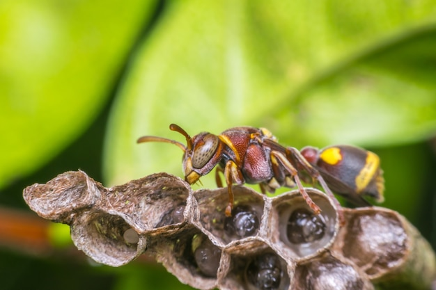 Makro von hymenoptera auf dem nest in der natur