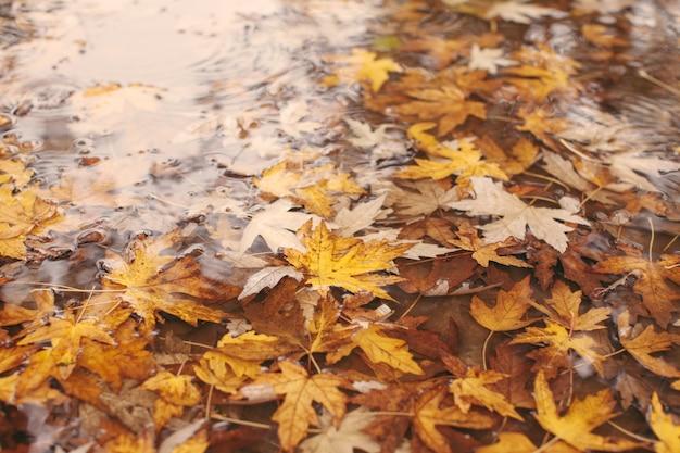 Makroansicht von gelben ahornblättern in der pudde